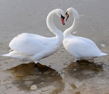 Creature Features: All About Swans
