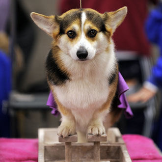 Guess What Breed Super Quiz: 2010 Westminster Edition!