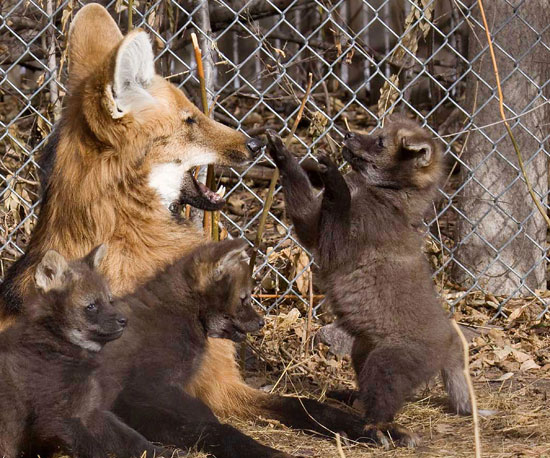 Use Three Puppies to Learn Five Facts About Maned Wolves