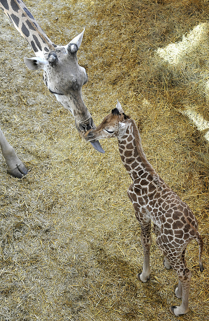 Get a Sneak Peek at this Three-Day-Old Baby Giraffe Before Public Debut!