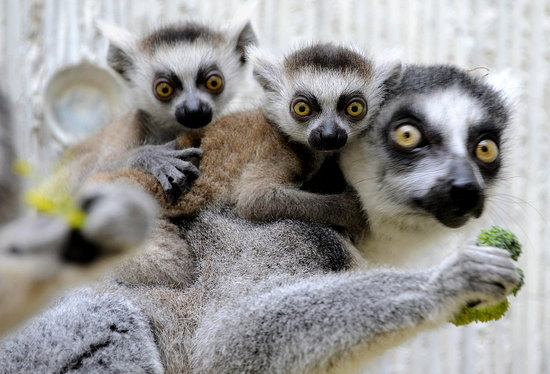 Baby Lemur Twinsies Have Mama's Eyes