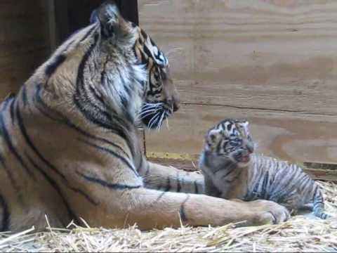 Mother Tiger Licking Baby Tiger