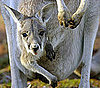 Kangaroo Pregnancy Trivia