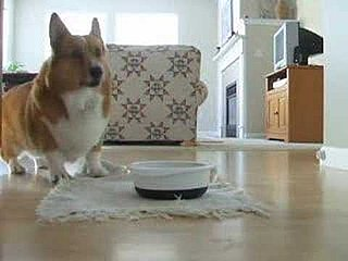 Video of Corgi Dancing