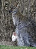 This wallaby joey has a gestational period of only about four to five weeks before crawling into Mama's pouch to stay snug, warm, and fed.