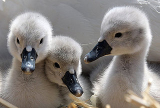 Baby Swans Say Summer Is Here!