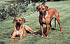Facts About Rhodesian Ridgebacks