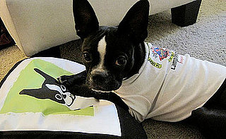 Pictures of Boston Terriers