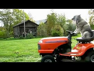 Video of a Dog Mowing the Lawn