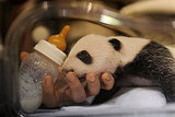 Baby Panda Cubs Have Double the Cuteness and Closed Eyes