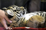 A Sumatran Tiger Named Daseep