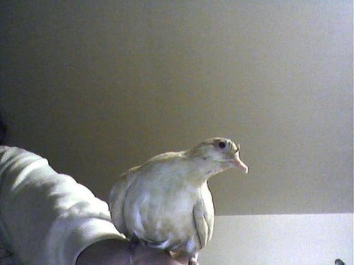 precious my dove