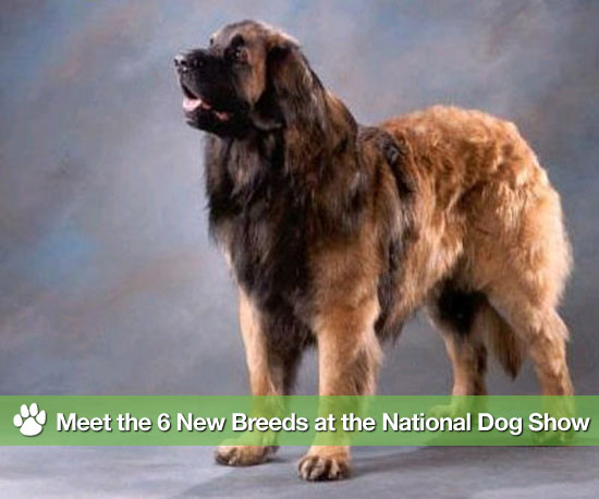 Meet the 6 New Breeds Debuting at the National Dog Show
