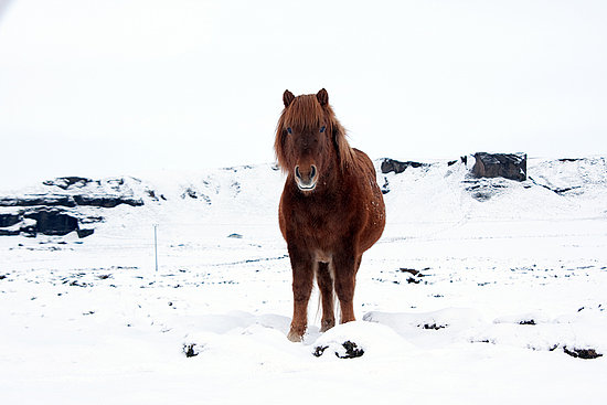 Icelandic Horses!