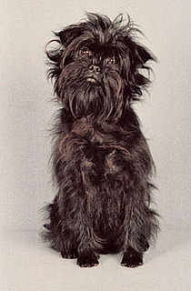 Affenpinscher Breed Facts