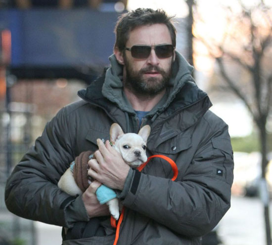 Pictures of Hugh Jackman&#039;s French Bulldog Puppy
