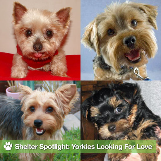 Shelter Spotlight: Yorkshire Terriers Looking For Love