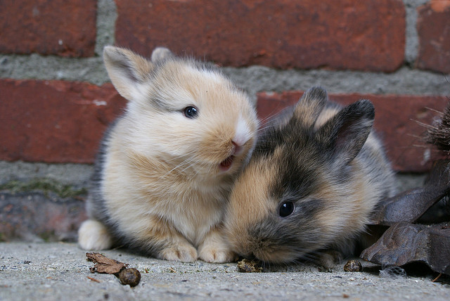 Sweet baby bunnies just melt my heart. Source: Flickr user Jannes Pockele