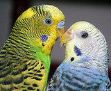 Lovebirds . . . literally! I'm smitten. Source: Flickr user  PuppiesAreProzac