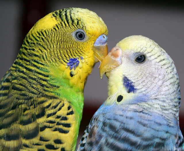 Lovebirds . . . literally! I'm smitten. Source: Flickr user  PuppiesAreProzac