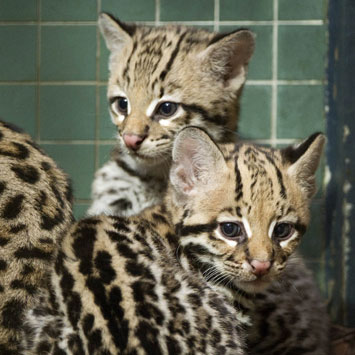 Pictures of Baby Ocelots at Berlin Zoo