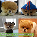 Pictures of Boo the Cute Pomeranian