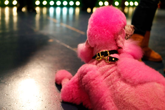 This standard poodle is relaxing and looking glam backstage at Isaac Mizrahi.