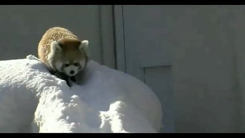 Video of Red Pandas Playing in the Snow