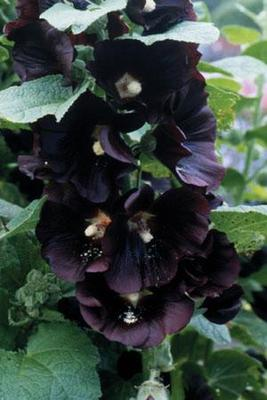 Alcea rosea &#039;Jet Black&#039; Seeds