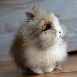 Pictures of Lionhead Rabbit