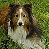 Trivia About Shetland Sheepdogs