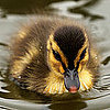 Pictures of Ducklings