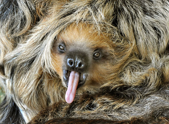 Weird and Wonderful Zoo Babies: Camillo the Sloth