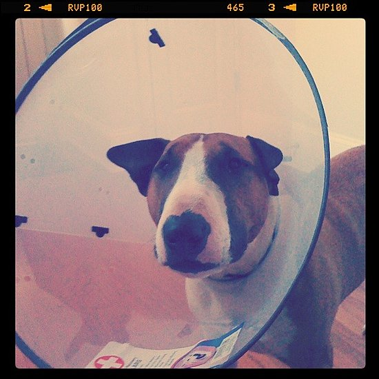 Sam in his cone of shame