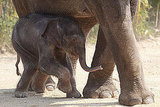 "Elephants have an amazing sense of hearing. An elephant ""hears"" with its ears, feet, and trunk."