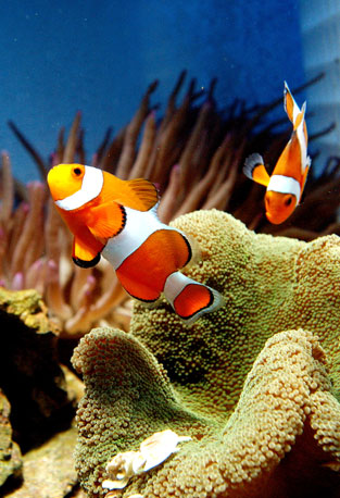Two clownfish enjoy the water together at the New World Aquarium in NYC.