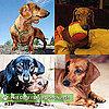 Daschund Pictures
