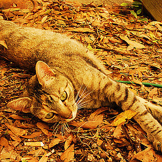 Pictures of Cats in Leaves