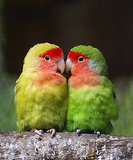 A couple of lovebirds at the aviary El Nido.