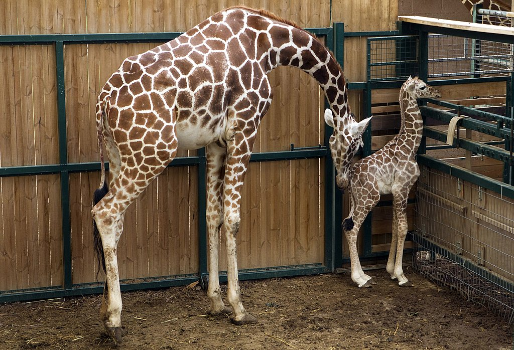 An adult giraffe's neck is up to six feet tall.