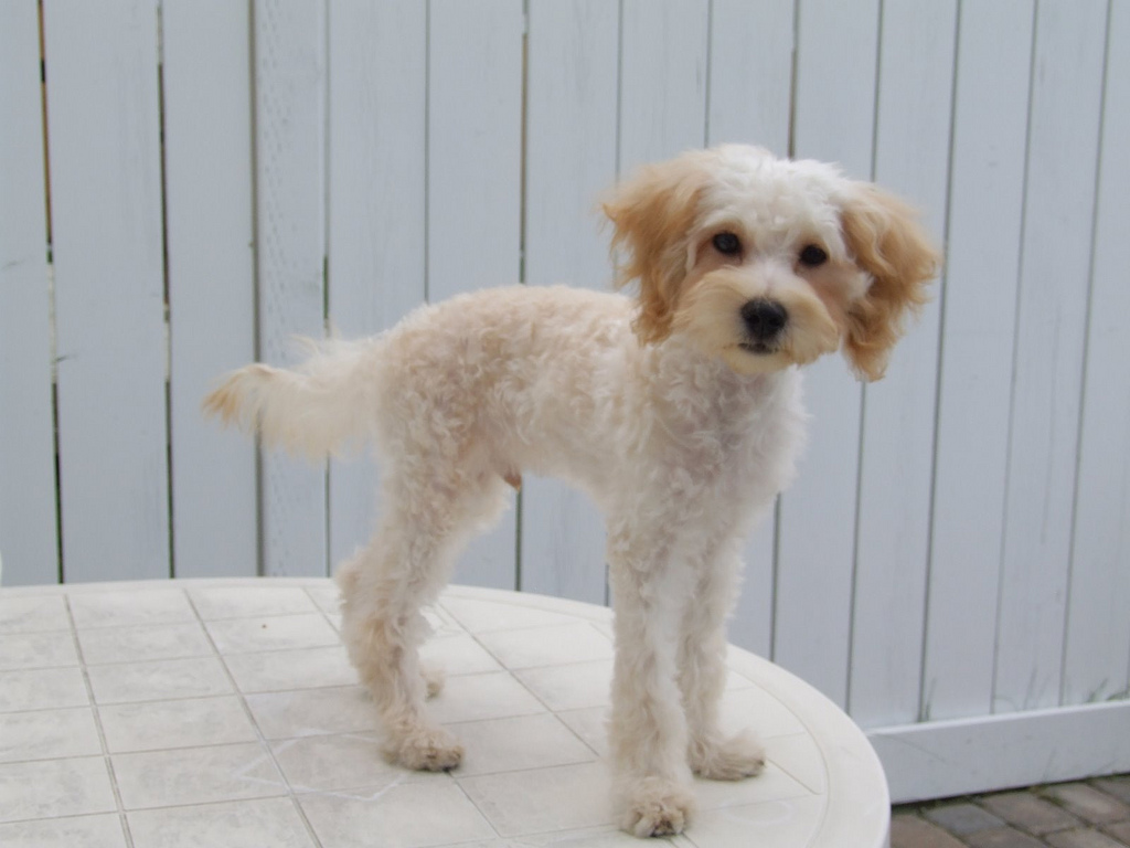 This particular Maltipoo owner decided to give its puppy a shave down. Maltese and Poodle breeds do not shed; however, all dogs carry dander and other allergens in their saliva. If you are allergic to dogs, keep that in mind before purchasing a Maltipoo. Source: Flickr User T. S. Smith