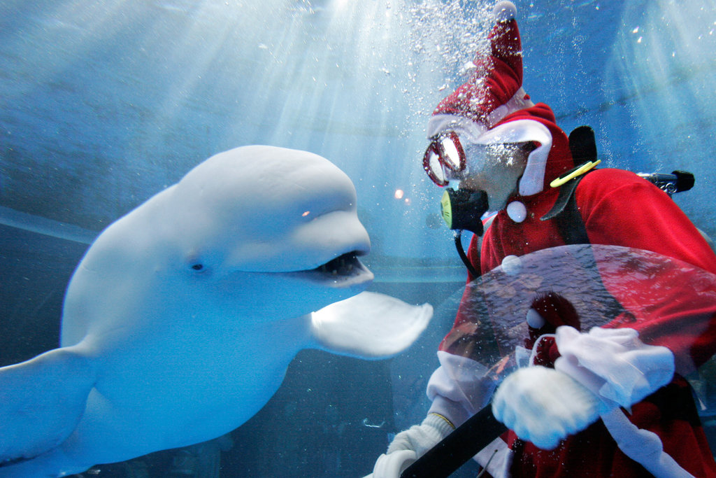 The beluga smiles happily at Santa (and his presents).