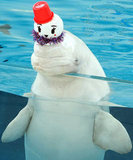 This beluga holds a snowman hat steady.