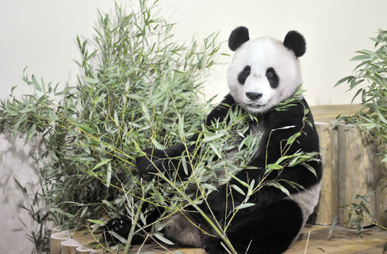 Unbearably Cute Guests Cause Panda-m