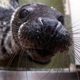 Cute Rescued Baby Seals Pictures