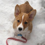Corgi Snow Best