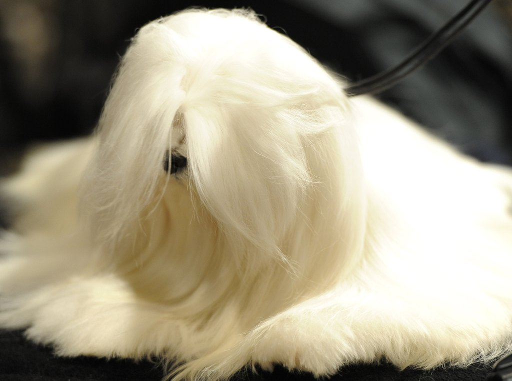 The lustrous locks of a Maltese.