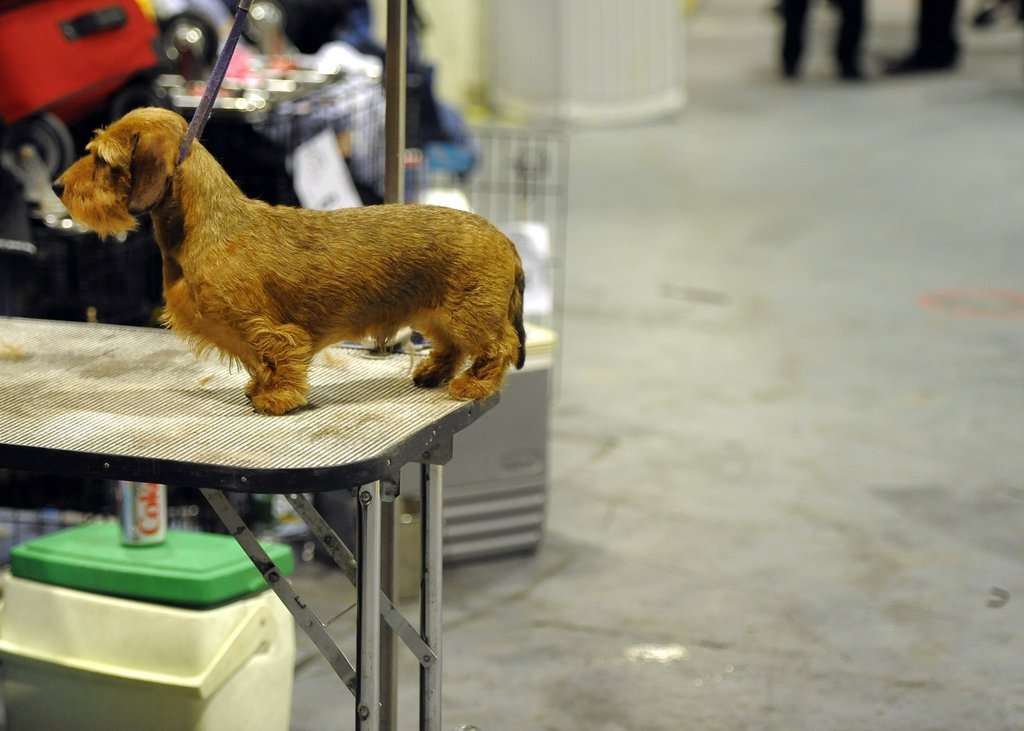 Watch out, Mr. Darcy! The Wirehaired Dachshund nearly dangles off a grooming table.