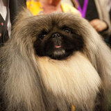 2012 Westminster Kennel Club Dog Show Pictures