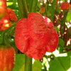 Trinidad Moruga Scorpion: World's Hottest Pepper